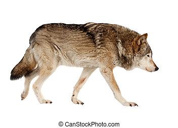 wolf., isolato, sopra, bianco