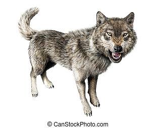 wolf, knurren, stehende , weiß, hintergrund.