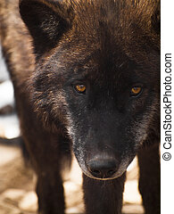 Wolf - Large wolf in captivity.