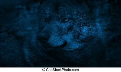 Wolf Looking Around The Woods At Night - Closeup of wolf in...