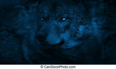 Wolf Looking Around With Bright Eyes In The Dark - Closeup...
