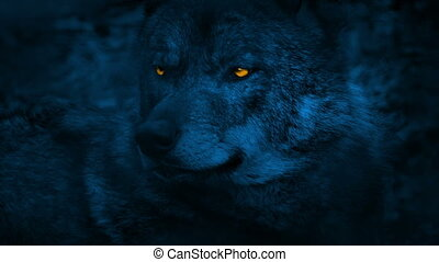Wolf Looking Around With Glowing Eyes At Night - Closeup of...