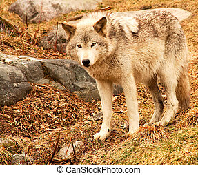 Wolf Looking at the Camera