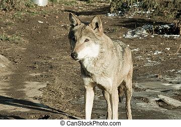 Wolf looking forward