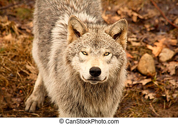 This is a young gray wolf looking up at the camera.