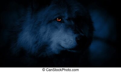 Wolf Looks Around With Glowing Eyes