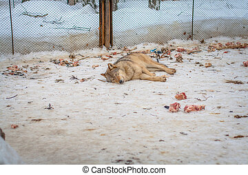 Wolf lying in the snow