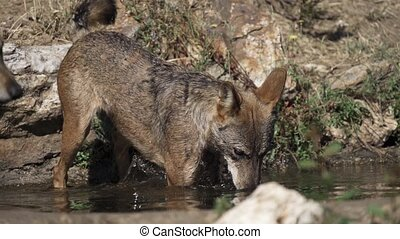 Wolf pack entering pond in super slow motion - Closeup of ...