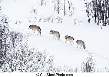 Wolf pack running in the cold landscape - Wolves in...