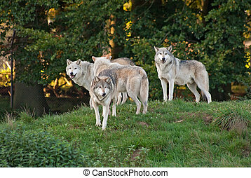 Wolf pack - Pack of wolves (C. Lupus) in the glade