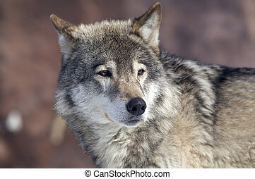 wolf - The looking wolf
