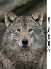 wolf - close-up of a wolf staring in the camera
