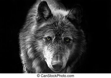 Wolf - shots of wolves close up head shots