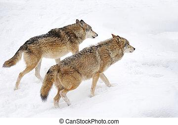 Wolf - Beautiful wild gray wolf in winter