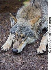 wolf, porträt