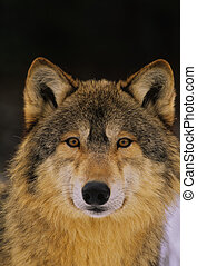 Wolf Portrait - a head on close up portrait of a wolf