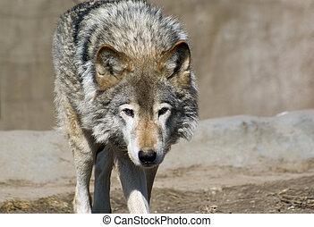 Wolf portrait - Portrait of a grey wolf (canis lupus), ...