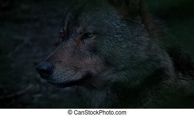 Wolf Profile View In The Evening - Profile shot of wolf in...