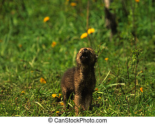 Wolf Pup Howling - a cute wolf pup howling