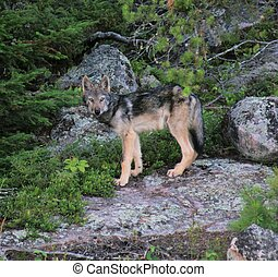 wolf pup on rocks
