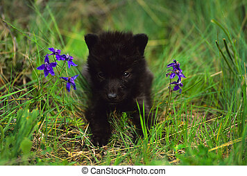 Wolf Pup - a cute all black wolf pup in green grass...
