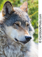 Wolf rests in the forest