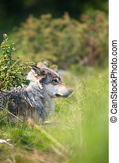 Wolf rests in the grass
