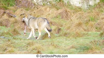 Wolf running away with piece of meat in the forest - Grey...
