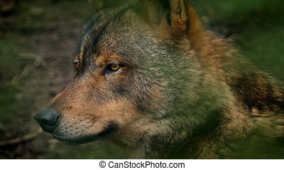 Wolf Side View In Forest - Profile shot of wolf in the...