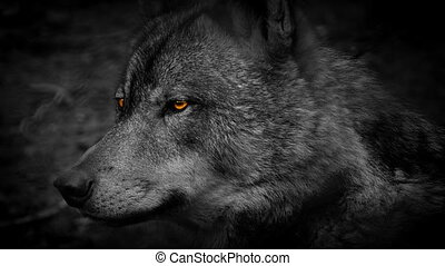 Wolf Side View With Fiery Eyes Abstract - Profile shot of...