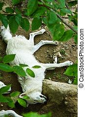 Wolf sleeping