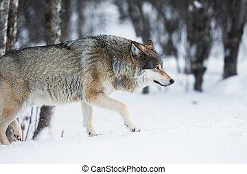 Wolf sneaking in the winter forest