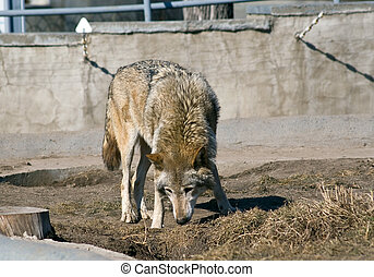 Wolf sniffing