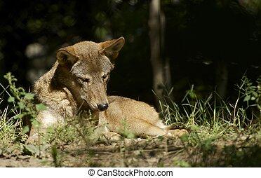 wolf, sonne
