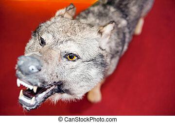 Wolf, specimen