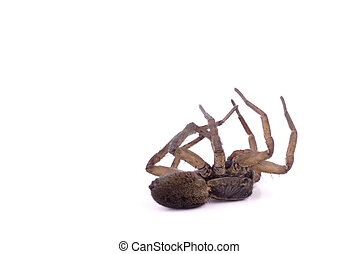 A dead wolf spider on its back