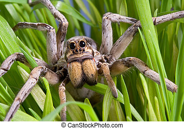 Wolf spider in grass - A wolf spider is crawling through the...