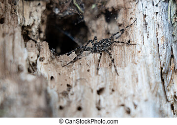 A Wolf Spider watching the world from its lair.