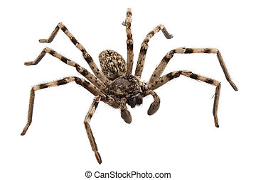 wolf spider lycosa sp in high definition with extreme focus ...