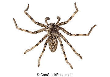 wolf spider lycosa sp in high definition with extreme focus...
