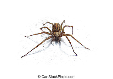 Wolf spider isolated on a white background