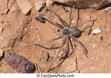 Wolf Spider on cracked dry desert earth