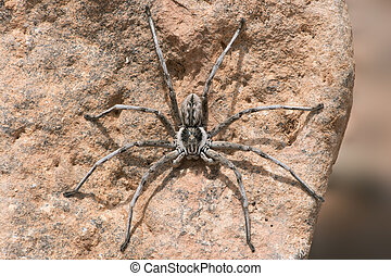 Wolf Spider on the underside of a rock