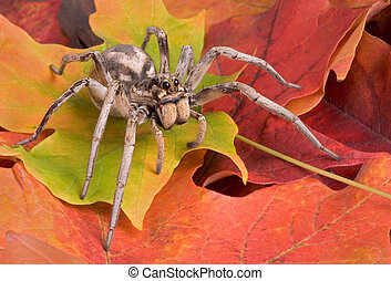 A female wolf spider is crawling through fall leaves.