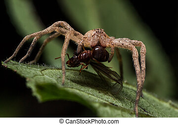 Wolf Spider on Leaf Eats Ant