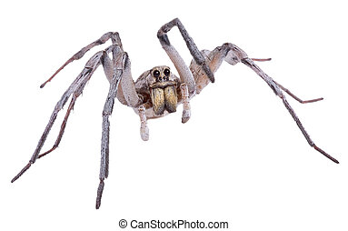 A male wolf spider is posing on a white background.