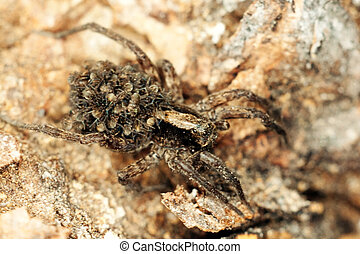 Wolf Spider, Pardosa lugubris, with babies - Female wolf...
