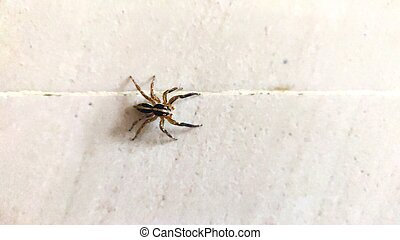 Wolf spider resting on a white wall