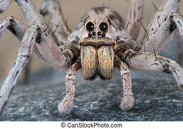 Wolf spider stare - A male wolf spider is crawling over a...