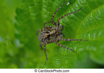 Wolf spider(Lycosidae Sundevall) is sitting on a leaf